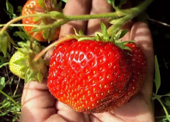 огромная ягода