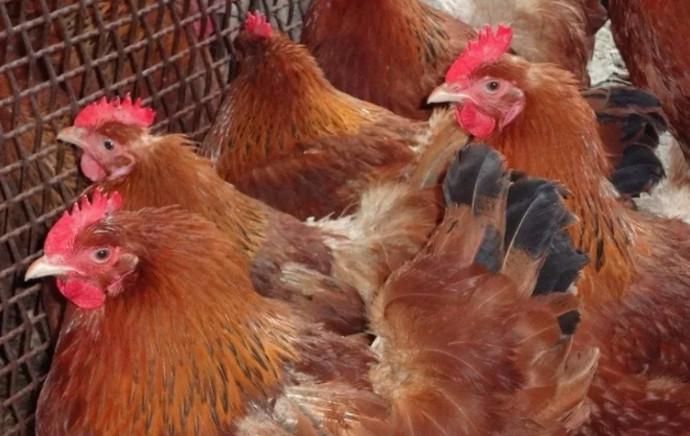 рыжие курицы