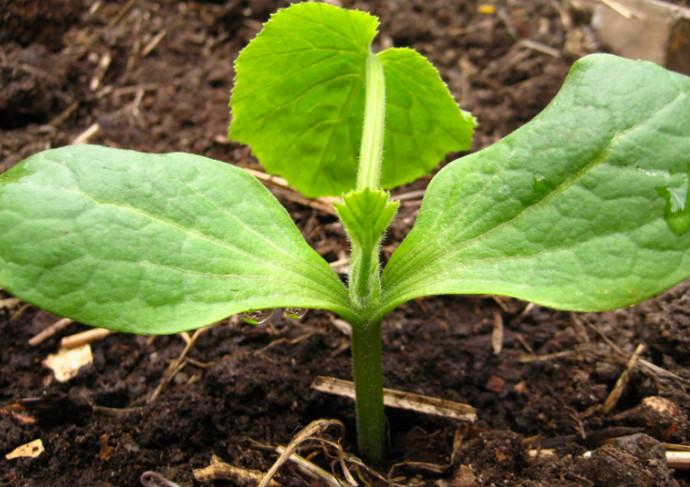 росток кабачка