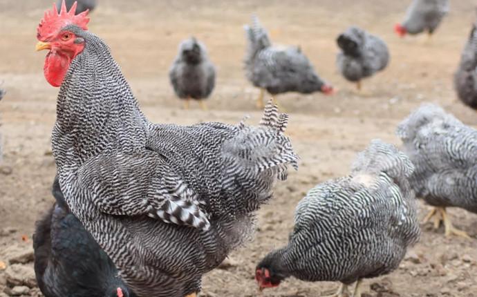 серые курицы
