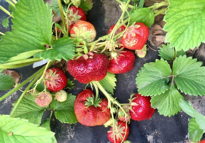 ягоды на кусте