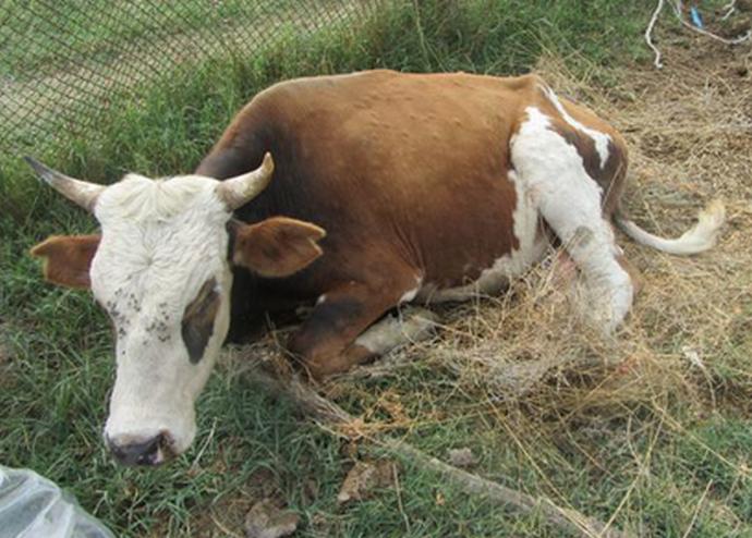корова лежит