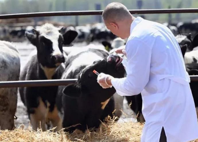 доктор осматривает корову