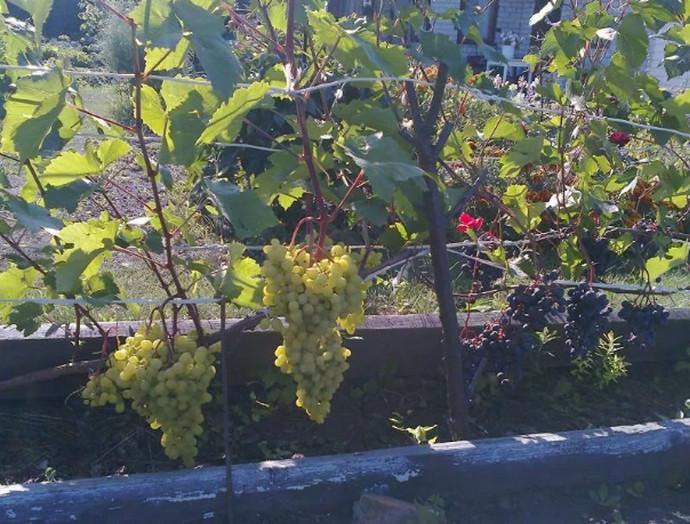 два винограда