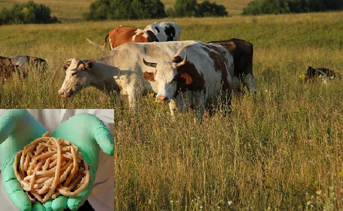 корова и глисты