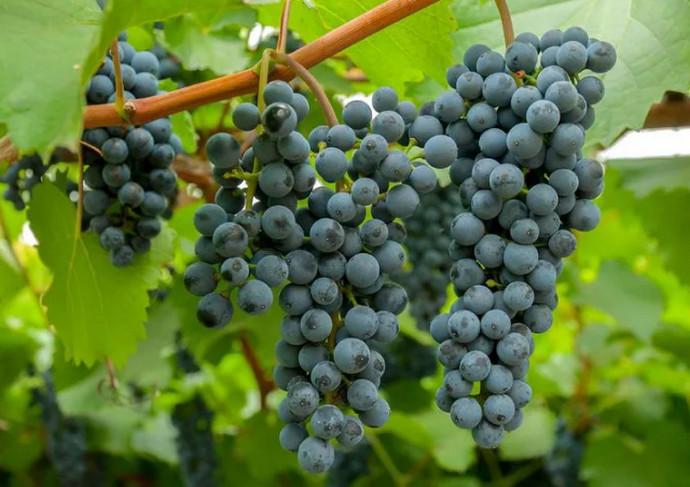 красивые грозди