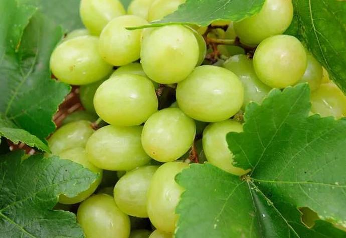 красивый виноград