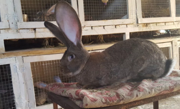 Фландер кролик