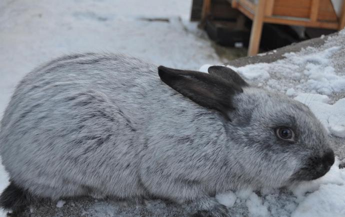 кролик породы серебро