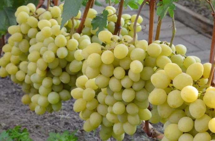 круглый виноград