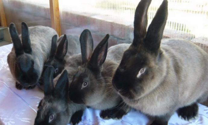 Мардер кролики