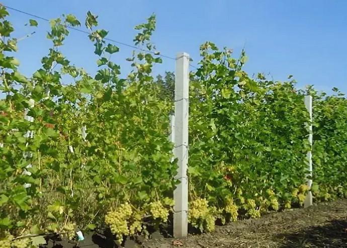 поле с виноградом