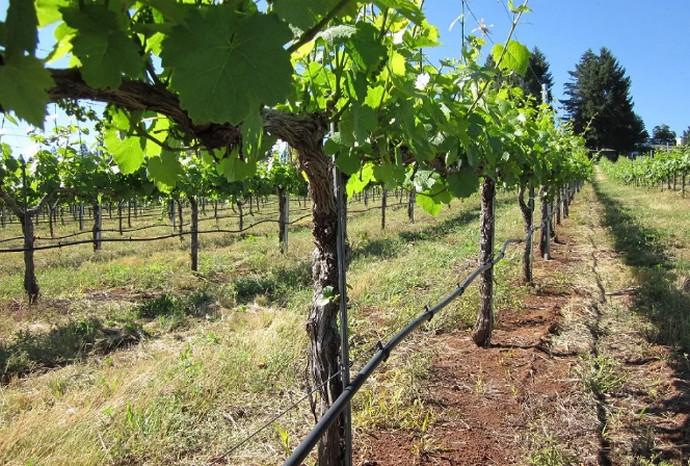 поле винограда