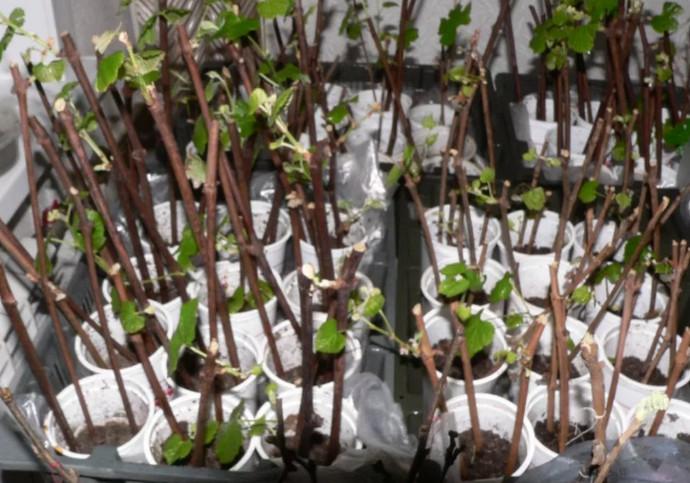 ростки винограда