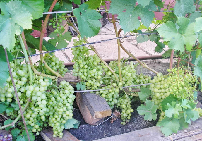 виноград на земле