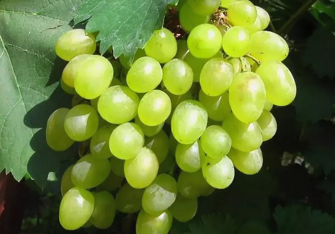 виноград под листом