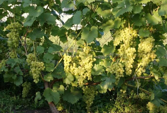 виноград растет