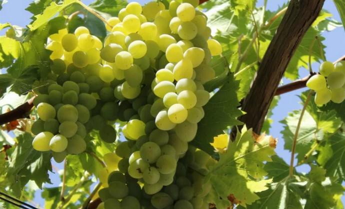 висит виноград