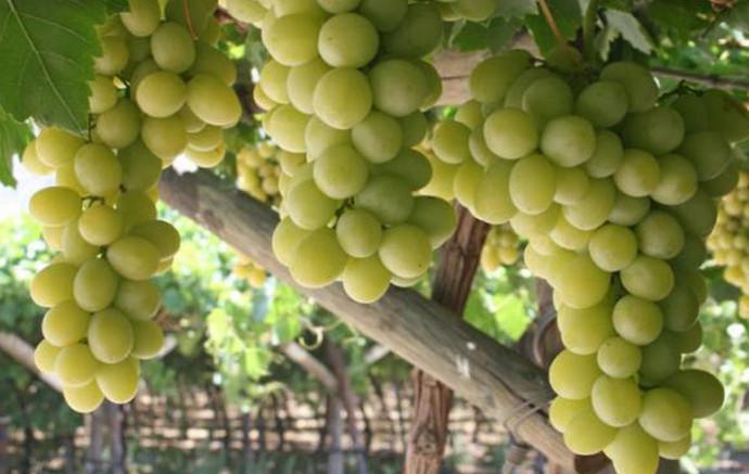 висящие грозди