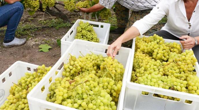 ящики с виноградом