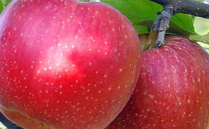 большие яблоки