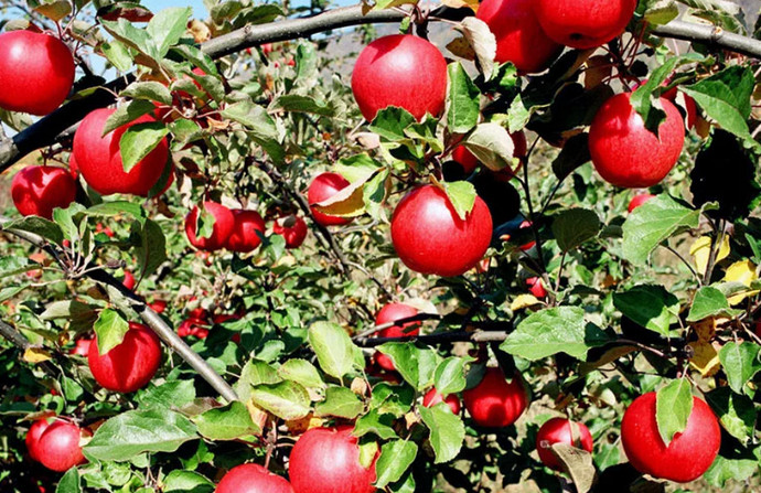 дерево с яблоками