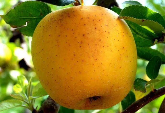 желтое яблоко