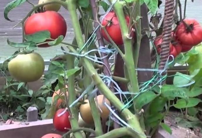 куст с помидором