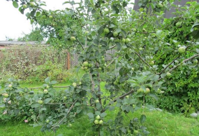 маленькая яблоня