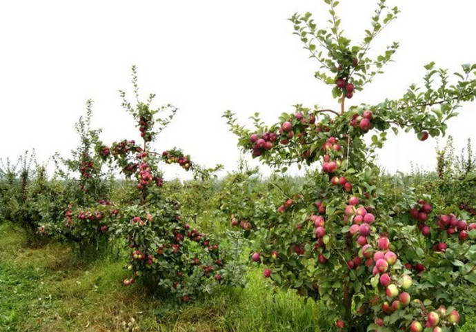 маленькие яблони