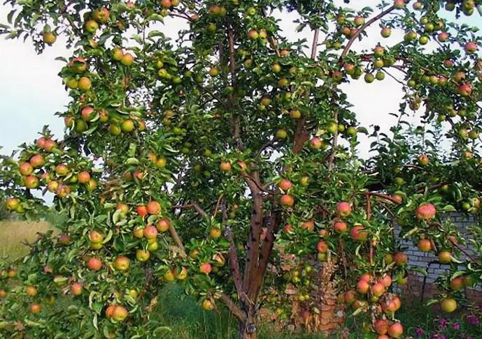 много яблок на дереве