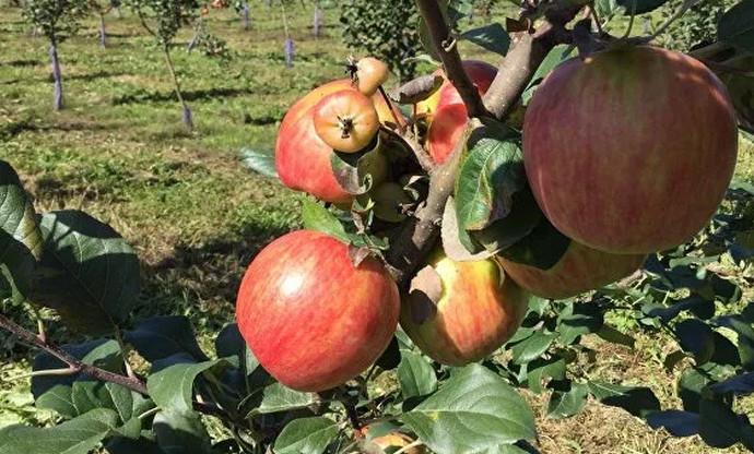 несколько яблок