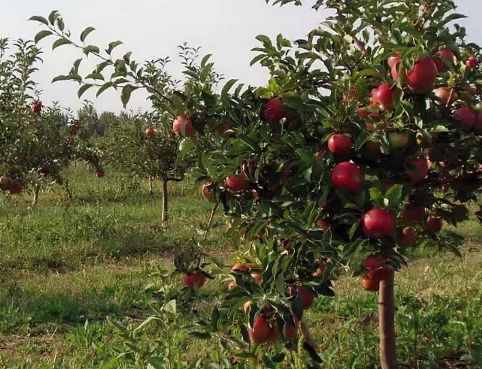 низкая яблоня