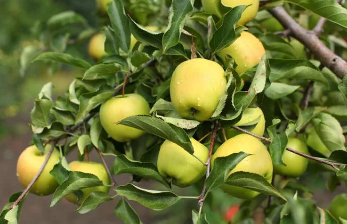 ветка с желтыми яблоками