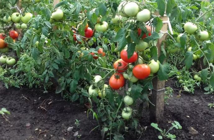 выросшие томаты