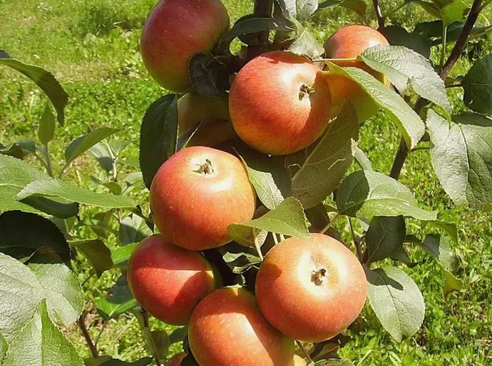яблоки летом