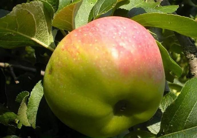 яблоко красно-зеленое