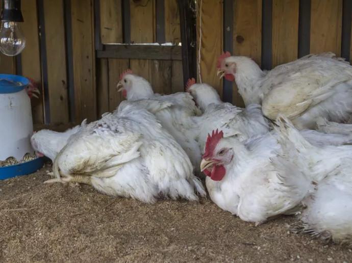 курицы в курятнике