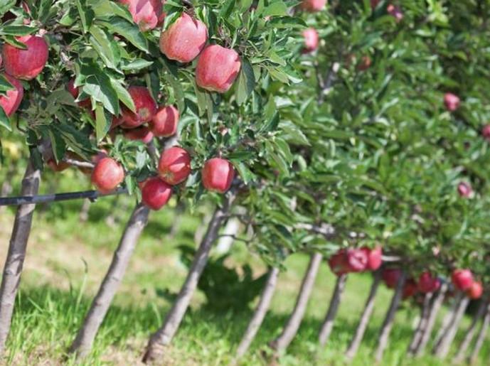 саженцы яблок