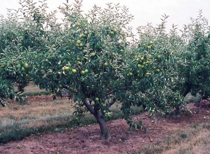 яблоня растет