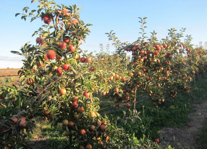 яблоня в поле